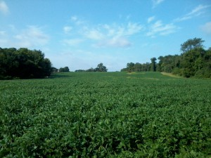 View of soy field facing West on a 93-degree day.